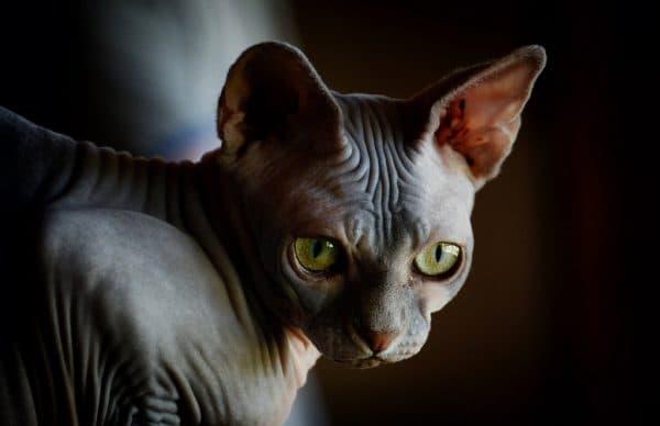 Канадский сфинкс: фото кошки, цена, описание породы ...