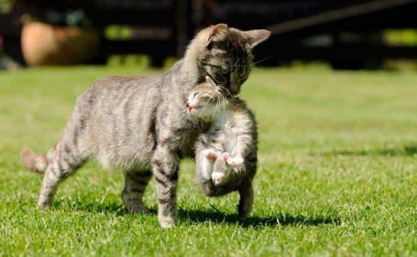 Кошка таскает котят с места на место. Почему кошка таскает котят в зубах