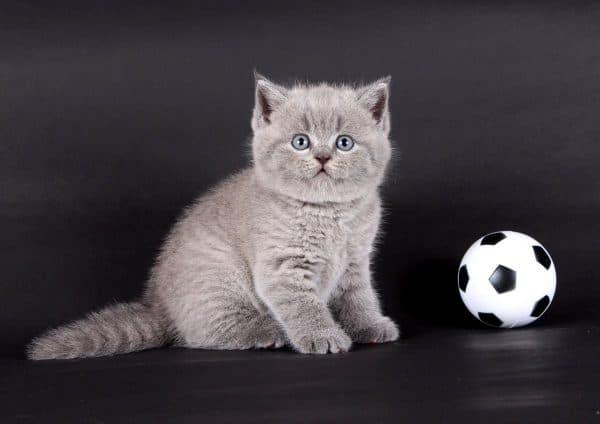 Шотландия котенкасын қалай шақыруға болады? Мақаланы оқыңыз