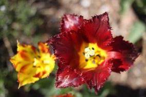 Tulipe - à Giverny
