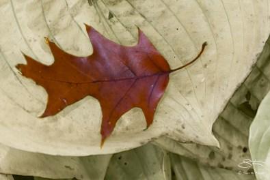 Red Oak Leaf, Central Park 11/9/2014