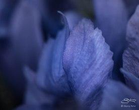 Dwarf Iris Petals, Central Park April 5, 2015