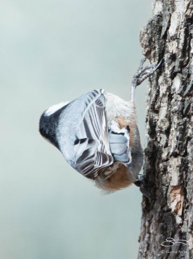 The End. White-breasted Nuthatch, Central Park April 11, 2015