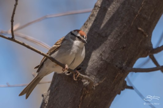 Chipping Sparrow, Central Park 4/26/2015