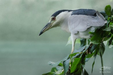 Black-crowned Night Heron, Central Park 8/24/2012 sf 28
