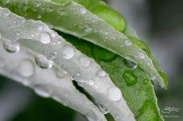 Rain Drops on Autumn Olive, Jamaica Bay 6/28/2015