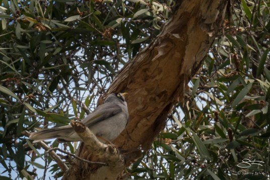 Noisy Miner at Rushcutters Bay July 24