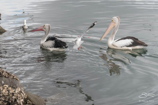Australian Pelicans, Blackwattle Bay