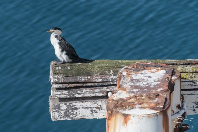 Little Pied Cormorant, Spit Road Bridge