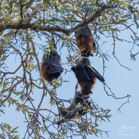 Grey-headed Flying Fox, Centennial Park
