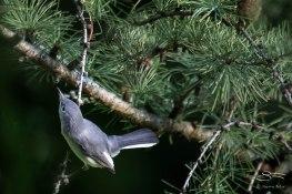 Blue-grey Gnatcatcher, Central Park 9/11/15