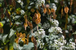 Inland Sea Oats, Central Park 10/10/2015