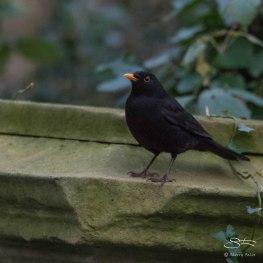 Blackbird, Abney Park, London 12/20/15