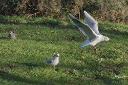 Black-headed Gull, St James Park 12/31/15