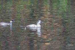 Smew, WWT London Wetland 1/4/16