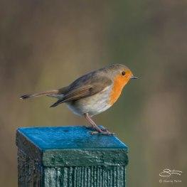 Robin, WWT London Wetland 1/4/16