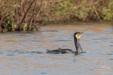 Cormorant, WWT London Wetland 1/4/16