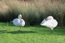 Bewick's Swan, WWT London Wetland 1/4/16