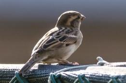 2012-10-10 High Line - House Sparrow
