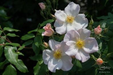 2013-05-30 High Line - White Roses