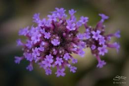 Purpletop Vervain (Verbena bonariensis), Battery Park 7/23/2016
