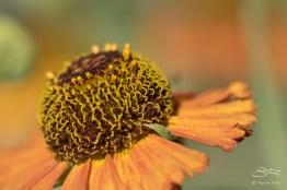 Common Sneezeweed (Helenium autumnale), Battery Park 7/23/2016