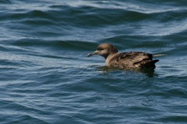 Sooty Shearwater, Grand Manan 9/3/2012