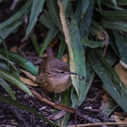 Winter Wren, Trinaty Church 11/108/2016