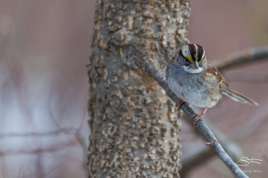 White-throated Sparrow, Central Park 2/16/2017