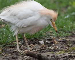 Cattle Egret, W 28 Street NYC 4/20/2017