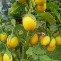 Süs Patlıcanı (Yumurta Patlıcan) TOHUMU %100 Yerli(15 Adet)