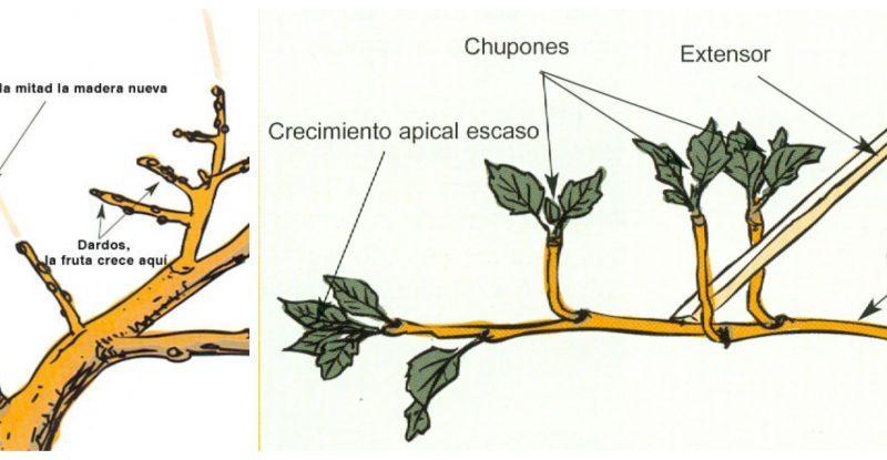 Guía ilustrada: poda de árboles frutales mayores y menores