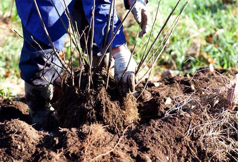 Guía para hacer todo tipo de acodos en la agricultura: mugrones, terrestres, aéreos, recalce...