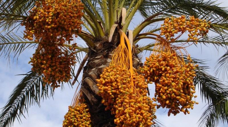 Recuperan semillas de dátiles de la época de Cristo y producen grandes dátiles