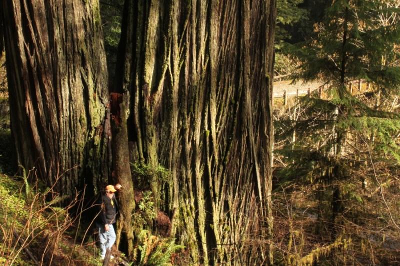 , David Clona los árboles más antiguos del mundo y planta miles de ellos