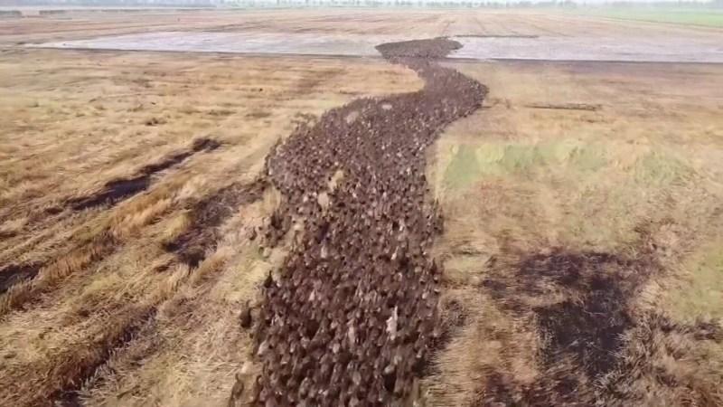 , En Tailandia 10.000 patos se encargan de limpiar los arrozales de plagas y así evitar pesticidas
