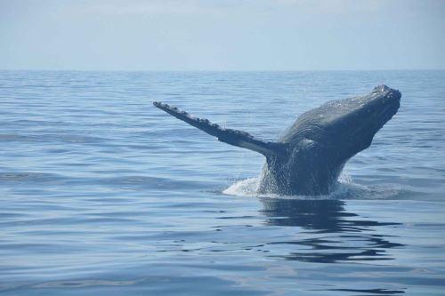 Promperú lanza campaña para promover el avistamiento de ballenas en el norte del país.