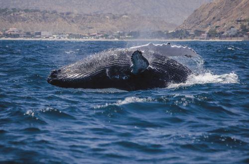 Resultado de imagen para Avistamiento de ballenas: una experiencia de ensueño en el norte del país