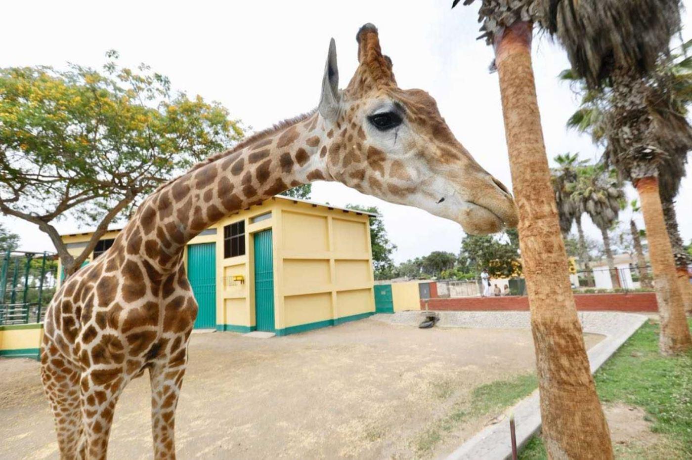 Conoce a Domingo, el engreído del Parque de las Leyendas | Noticias | Agencia Peruana de Noticias Andina