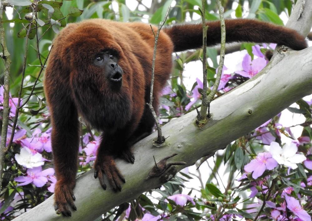 Febre Amarela. Morte de macaco na mata, coloca em alerta autoridades epidemiológicas