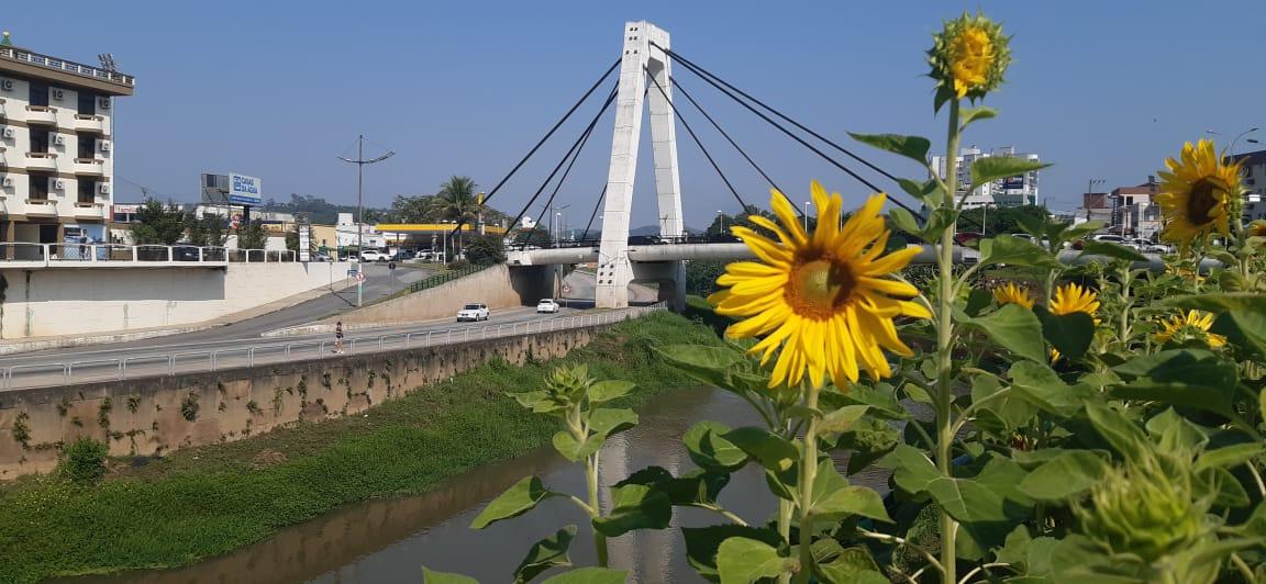 Prefeitura de Brusque realiza plantio de girassol na cidade