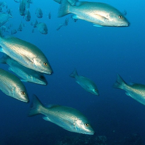 Gray Snapper Management