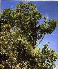 Portal Capoeira Biriba, nome científico: Eschweira ovata Curiosidades