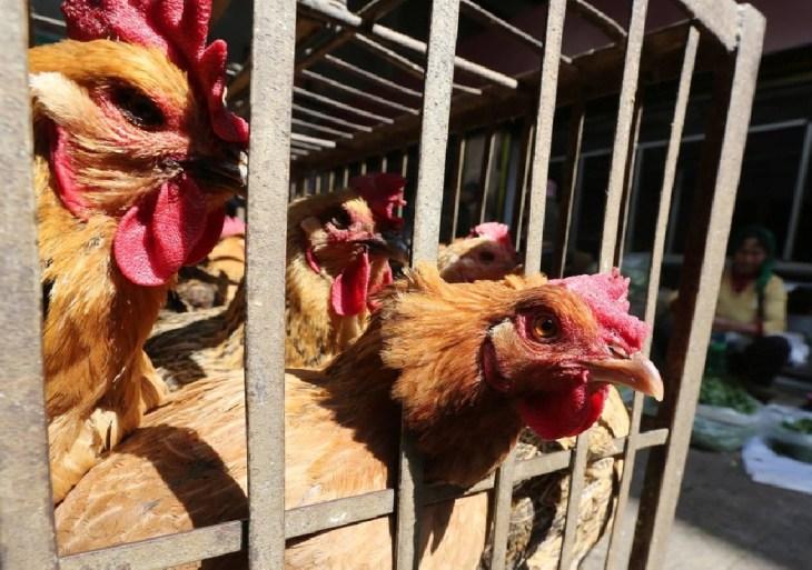 Gripe aviária se espalha por diversas regiões no Japão