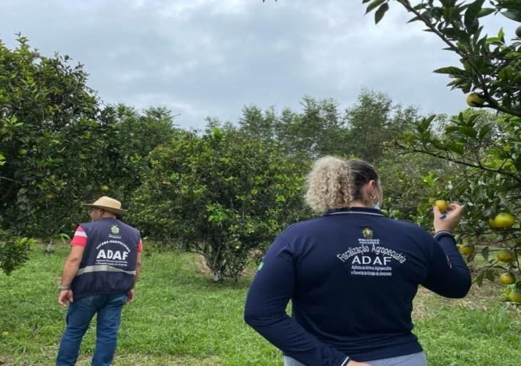 Após investigação, Adaf descarta suspeitas de HLB no Amazonas