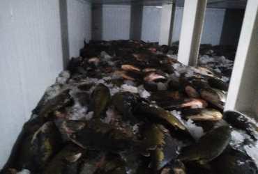 Feira do Tambaqui: Peixes de procedência comprovada é vendida na feira da FAS
