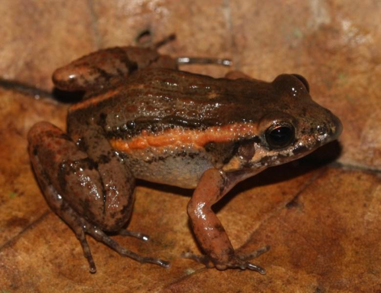 Nova espécie de anfíbio do Acre é nomeada em homenagem a Chico Mendes