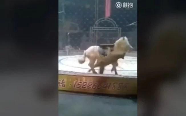 Tigre e leão atacam cavalo em picadeiro de circo na China; assista ao vídeo