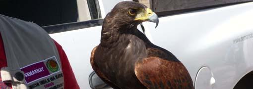 Liberan aves rapaces en La Bufa