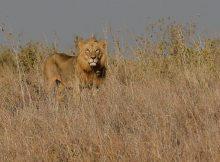 Cinco leões escaparam do Parque Nacional Kruger, no nordeste da África do Sul, e poderão pôr em perigo a vida de pessoas e animais, informaram os media locais.